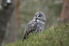 Grand Grey Owl Images stock