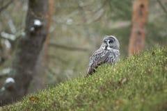Grand Grey Owl Photographie stock libre de droits