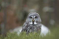 Grand Grey Owl Photo libre de droits