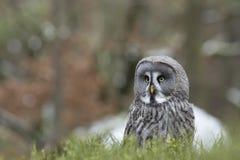 Grand Grey Owl Image libre de droits