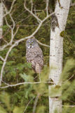 Grand Grey Owl dans un arbre en hiver Photo stock