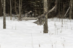 Grand Grey Owl en vol Photo libre de droits