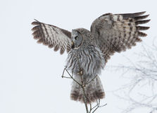 Grand Grey Owl (nebulosa de Strix) Photographie stock libre de droits
