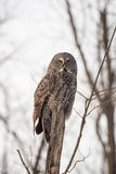 Grand Grey Owl solitaire en hiver Photo stock