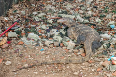 Grand gros dragon de komodo dedans sur le rocher Photo libre de droits
