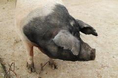 Grand gros porc Image libre de droits