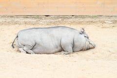 Grand gros porc Photographie stock libre de droits