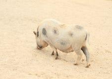 Grand gros porc Photo libre de droits