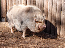 Grand gros porc velu se tenant prêt le mur en bois Photos libres de droits