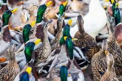 Grand groupe de canards Photo libre de droits