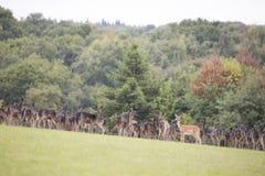Grand groupe de cerfs communs Photographie stock libre de droits