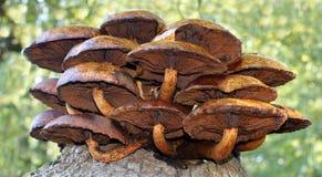 Grand groupe de champignon/de champignon se tenant dans la forêt Image libre de droits
