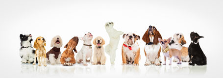 Grand groupe de chiens curieux et de chiots recherchant Photo libre de droits