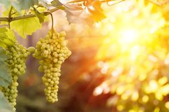 Grand groupe de maturation de raisin blanc sur la vigne Photo stock