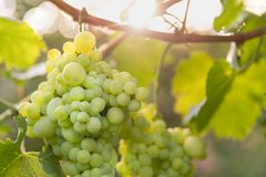 Grand groupe de maturation de raisin blanc sur la vigne Photographie stock libre de droits