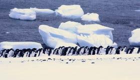 Grand groupe de pingouins d'Adelie Image libre de droits