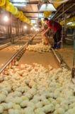 Grand groupe de poussins nouvellement hachés à une ferme de poulet Photographie stock