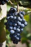 Grand groupe de raisins mûrs Image libre de droits