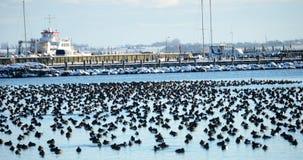 Grand groupe de repos tufté de canards Photos libres de droits