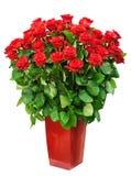 Grand groupe de roses Photos libres de droits
