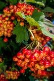 Grand groupe de viburnum rouge photographie stock libre de droits