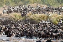Grand groupe de wildebeest traversant le fleuve Mara Photographie stock