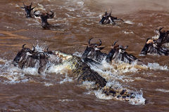 Grand groupe de wildebeest traversant le fleuve Mara Images libres de droits