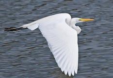 Grand héron américain en vol au-dessus de lac Photos libres de droits