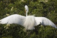 Grand héron avec l'atterrissage de plumage d'élevage dans un arbuste, la Floride Photos stock