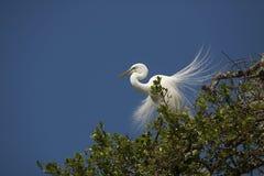 Grand héron avec le plumage de multiplication splendide dans un arbre de la Floride image libre de droits