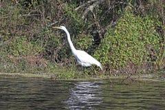 Grand héron blanc à Slough Photo libre de droits