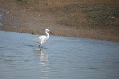 Grand héron blanc, Ardea alba Photo libre de droits