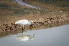 Grand héron blanc, Ardea alba Photo stock
