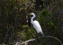 Grand héron blanc, egretta alba, étant perché sur l'arbre photographie stock libre de droits