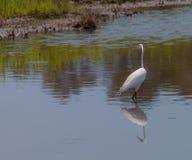 Grand héron blanc, egretta alba, pêchant dans un marais images libres de droits