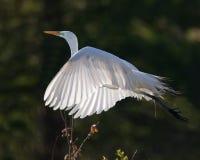 Grand héron blanc en vol Photos libres de droits