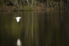 Grand héron blanc volant au ras de l'eau foncée en Géorgie Photographie stock libre de droits