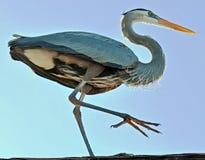 Grand héron bleu avec la jambe soulevée prise de dessous photographie stock