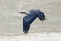 Grand héron bleu glissant au-dessus d'un lac congelé photos stock