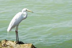 Grand héron chez le Lac Balaton Photographie stock libre de droits
