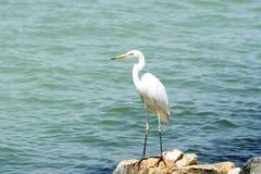 Grand héron chez le Lac Balaton Images stock