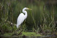 Grand héron dans l'écosystème d'habitat de marais de marécage photographie stock