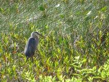 grand héron dans le marais Photo libre de droits