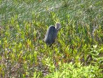 grand héron dans le marais Photo stock