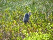 grand héron dans le marais Photos stock
