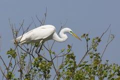 Grand héron dans le plumage d'élevage été perché dans un arbre images libres de droits
