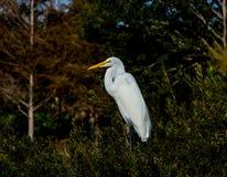Grand héron dans une forêt de marécage de la Floride images libres de droits
