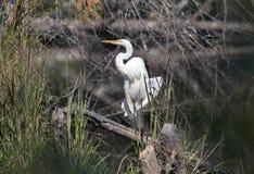 Grand héron de héron dans l'habitat de marais, la Géorgie Etats-Unis photos libres de droits