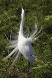 Grand héron montrant le plumage d'élevage à une colonie de freux en Floride Photo libre de droits