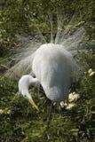 Grand héron montrant le plumage d'élevage à une colonie de freux en Floride Image stock